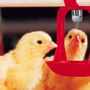Lubing Broiler/Pullet Water System